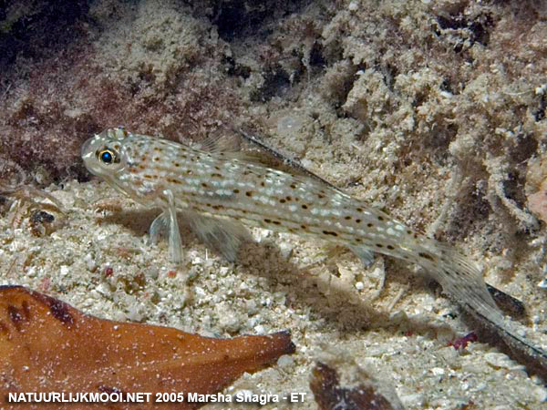 Istigobius decoratus